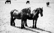 paarden-1-2